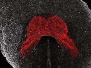 An image in grey and red showing the heart of a mouse