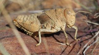 Crau plain grasshopper