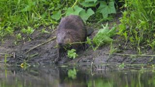 Beaver on a river bank