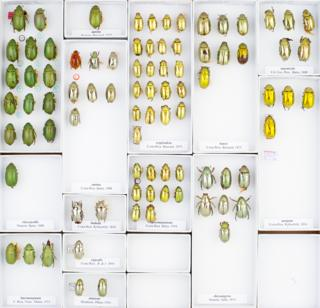 Jewel beetles tray © Trustees of NHM, London