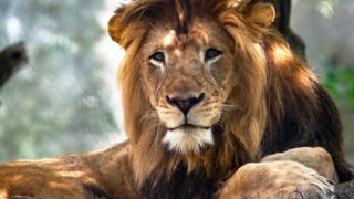The Indianapolis Zoo's adult male lion Nyack