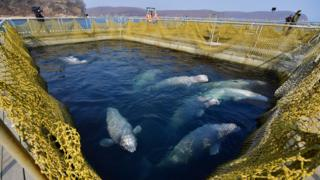Belugas at Srednyaya Bay, 1 Mar 19