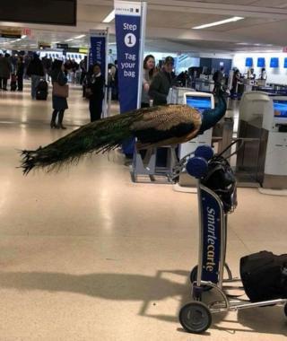 """Жінку із """"заспокійливим"""" павичем не пустили на літак"""