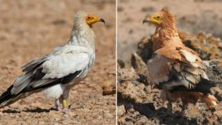 Composite image showing the Egyptian vulture before and after it's dipped its head in mud