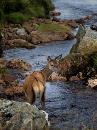 A deer keeping cool and hydrated at Glencoe