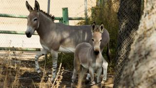 Les ânes sont plus touchés que les chevaux par la peste équine au Sénégal.