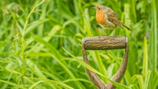 Robin red breast in Farmoor