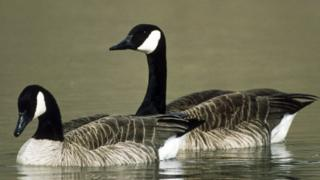 A pair of Canada geese are pictured on a lake