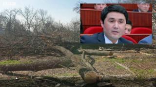 Яккасаройда кесилган дарахат ва депутат Акмал Бурҳонов