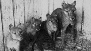 Tasmanian tigers in captivity