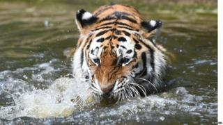 Minerva, an Amur tiger, paddles in her pool at Woburn Safari Park in Bedfordshire
