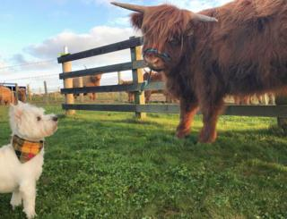 White terrier dog meeting a Highland cow