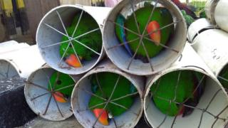 Eclectus parrots stuffed inside drainage pipes following a raid