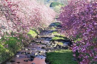 Andrew Morton took this picture of the well-known avenue of cherry blossom in Dollar, Clackmannanshire