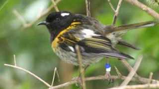 Male stitchbird