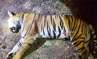 This handout photo released by the Maharashtra Forest Department on November 3, 2018 shows the dead body of the tiger known to hunters as T1 after being shot in the forests of India's Maharashtra state near Yavatmal. - A man-eating tiger that claimed more than a dozen victims in two years has been shot dead in India, sparking controversy over the legality of its killing.