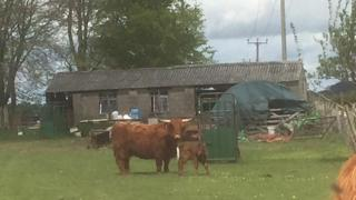 Cow and calf killed over the weekend