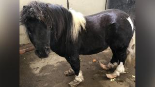 Collin the pony when first rescued