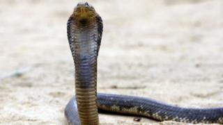 Mısır kobrası