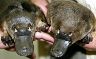 This File picture taken on 28 March 2003 shows the world's first twin baby platypuses born in captivity, at Taronga Zoo in Sydney.
