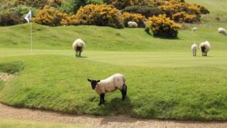 sheep on a golf course