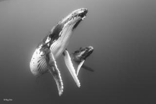 Madre y su cría de ballenas jorobadas flotando en un agua plagada de plancton alrededor del grupo de islas de Vava'u, Tonga.