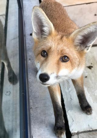 Galus the Fox