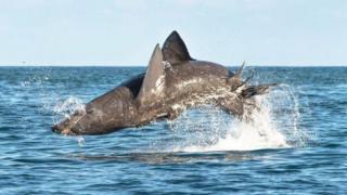 Breaching basking shark
