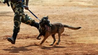Belgian Malinois wey dey run with soldier for Kuwait