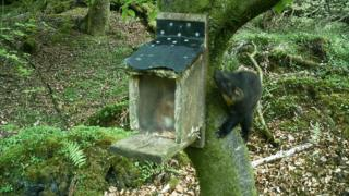 Red squirrel in feeder and pine marten