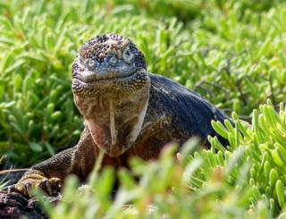 A land iguana among grass