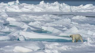 Image shows polar bear walking across ice