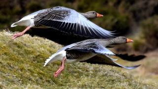 Geese at Loch Walton