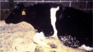 Cow infected with BSE. On the picture in 2003