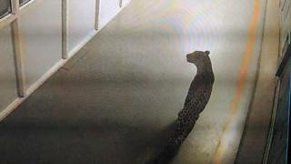 The leopard caught on the CCTV camera at Maruti Suzuki's Manesar factory