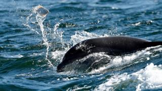 Bottlenose dolphin playing with flounder