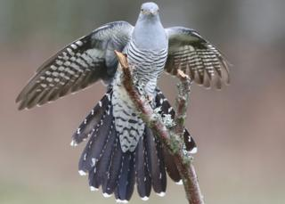 , Epic 7,500-mile cuckoo migration wows scientists