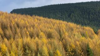 Larch tree plantation