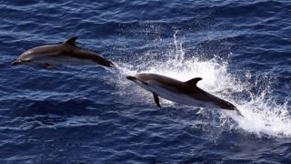 Delfines saltan en el mar