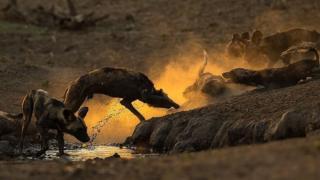 بازی عصرگاهی، نیک دایر سه گروه از سگهای وحشی آفریقایی را در پارک ملی مانا پولز زیمبابوه تعقیب میکرد