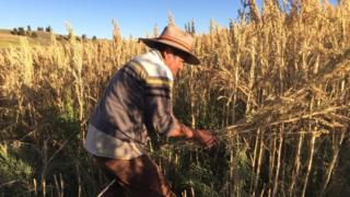 Rodrigo Cisneros harvesting quinoa