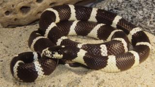 a coiled California king snake