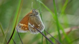 large heath butterfly