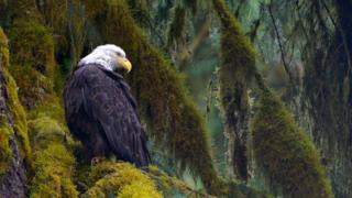Wild Alaska Bald Eagle, Tongass National Forest, Alaska.