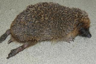 Hedgehog shot