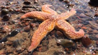Starfish at Rosemarkie