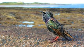 A starling on a harbour wall at Seahouses in Northumberland