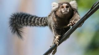 Marmoset in Brazil