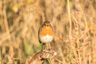 Robin in Findhorn