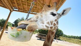 Giraffe with ice lolly